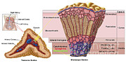Human Body Parts Posters - Anatomy Of Adrenal Gland, Cross Section Poster by Stocktrek Images