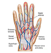 Radial Nerves Prints - Anatomy Of Back Of Human Hand Print by Stocktrek Images