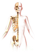 True Ribs Posters - Anatomy Of Female Body With Skeleton Poster by Leonello Calvetti