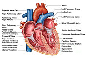 Human Body Parts Posters - Anatomy Of Heart Interior, Frontal Poster by Stocktrek Images