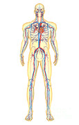 Femoral Artery Posters - Anatomy Of Human Body And Circulatory Poster by Stocktrek Images
