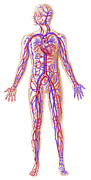 Human Body Parts Posters - Anatomy Of Human Circulatory System Poster by Leonello Calvetti