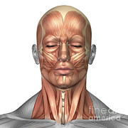 Human Body Parts Posters - Anatomy Of Human Face And Neck Muscles Poster by Stocktrek Images