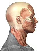Human Body Parts Posters - Anatomy Of Human Face Muscles, Side Poster by Stocktrek Images