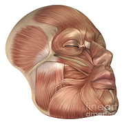 Mouth Closed Prints - Anatomy Of Human Face Muscles Print by Stocktrek Images