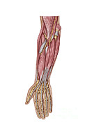 Human Body Parts Posters - Anatomy Of Human Forearm Muscles, Deep Poster by Stocktrek Images