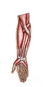 Human Body Parts Posters - Anatomy Of Human Forearm Muscles Poster by Stocktrek Images