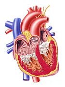 Human Body Parts Posters - Anatomy Of Human Heart, Cross Section Poster by Leonello Calvetti
