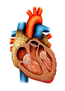 Cava Metal Prints - Anatomy Of Human Heart, Cross Section Metal Print by Stocktrek Images