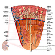 Human Body Parts Posters - Anatomy Of Human Kidney Function Poster by Stocktrek Images