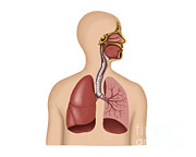 Human Body Parts Posters - Anatomy Of Human Respiratory System Poster by Stocktrek Images