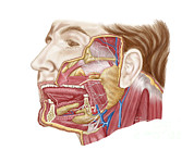Lingual Artery Posters - Anatomy Of Human Salivary Glands Poster by Stocktrek Images