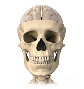 Frontal Bones Art - Anatomy Of Human Skull, Cutaway View by Leonello Calvetti