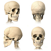Frontal Bones Framed Prints - Anatomy Of Human Skull From Different Framed Print by Leonello Calvetti