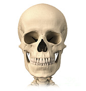 Human Anatomy Art - Anatomy Of Human Skull, Front View by Leonello Calvetti