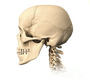 Frontal Bones Digital Art Posters - Anatomy Of Human Skull, Side View Poster by Leonello Calvetti