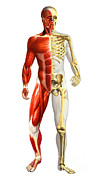Human Representation Art - Anatomy Of Male Body With Half Skeleton by Leonello Calvetti