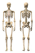Human Representation Art - Anatomy Of Male Human Skeleton, Front by Leonello Calvetti