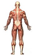 Muscular Digital Art Posters - Anatomy Of Male Muscular System, Back Poster by Stocktrek Images