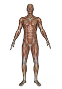 Muscular Digital Art Posters - Anatomy Of Male Muscular System, Front Poster by Elena Duvernay