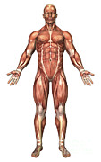 Muscular Digital Art Posters - Anatomy Of Male Muscular System, Front Poster by Stocktrek Images