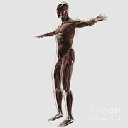 Muscular Digital Art Posters - Anatomy Of Male Muscular System, Side Poster by Stocktrek Images