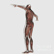 Muscular Digital Art Posters - Anatomy Of Male Muscular System Poster by Stocktrek Images
