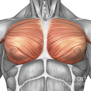 Muscular Digital Art Posters - Anatomy Of Male Pectoral Muscles Poster by Stocktrek Images