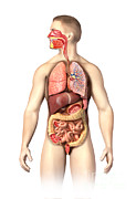 Human Body Parts Posters - Anatomy Of Male Respiratory Poster by Leonello Calvetti