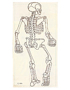 Human Skeleton Drawings - Anatomy Scrolls - REAR by Johannes VON GUMPPENBERG