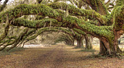Large Trees Framed Prints - Ancient Live Oak Trees Framed Print by Dustin K Ryan