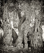 Crete Prints - Ancient olive Print by Paul Cowan