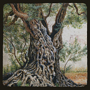 Jerusalem Drawings Posters - Ancient Olive Tree Trunk Poster by Miki Karni