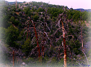 Prescott Prints - Ancient Ponderosa Pines and Forested Mountainside Print by Aaron Burrows