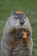 Groundhog Photos - And have you looked in the mirror lately by Paul W Faust -  Impressions of Light