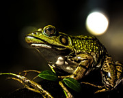 Macro Prints - And This Frog Can Sing Print by Bob Orsillo