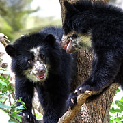 Andean Prints - Andean Bears Print by Mitch Cat