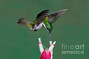 Anthony Mercieca - Andean Emerald Hummingbird