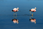 Andean Prints - Andean Flamingos Print by James Brunker