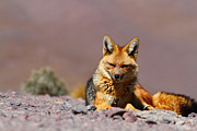 Canid Prints - Andean Fox Portrait Print by James Brunker