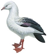 Wildlife Drawings - Andean goose by Anonymous