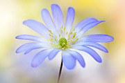 Windflower Prints - Anemone Blanda Print by Jacky Parker