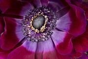 Anemone Coronaria  Macro Print by Ann Garrett