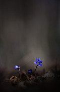 Rikard  Olsson - Anemone hepatica 