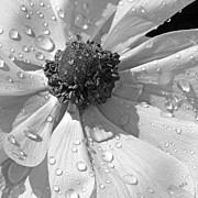 Droplet Digital Art Prints - Anemone Poppy In Black And White Print by Ben and Raisa Gertsberg