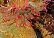 Tidal Pool Photos - Anemone by Randy Hall