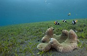Anemonefish In Seagrass In Indonesia Print by Science Photo Library