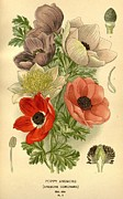 Flora Drawings Prints - Anenomes Print by Unknown