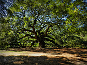 Beautiful Tree Photos - Angel Oak 001 by Lance Vaughn