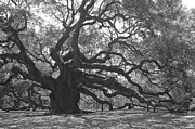 Lowcountry Prints - Angel Oak II - Black and White Print by Suzanne Gaff